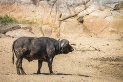 Buffle africain en parc national de Kruger, Afrique du Sud photo libre de droits
