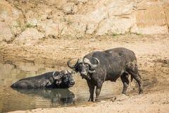 Buffle africain en parc national de Kruger, Afrique du Sud images libres de droits
