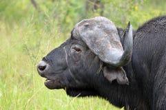 Buffle africain ou buffle de cap (caffer de Syncerus) Photographie stock
