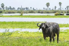 Buffle africain Selous image libre de droits