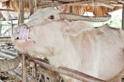 Buffle albinos (buffle blanc) Photo stock