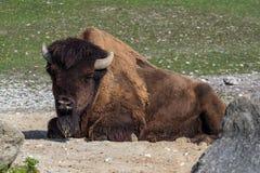 Buffle américain connu sous le nom de bison, bison de Bos dans le zoo images libres de droits