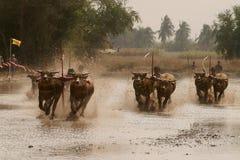 Buffle d'eau emballant en Thaïlande Images libres de droits
