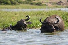 Buffle d'eau - la Manche Ouganda de Kazinga Image stock
