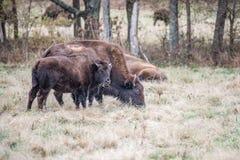 Buffle de bison américain photos stock