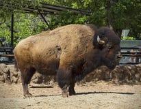 Buffle de bison américain Photo libre de droits
