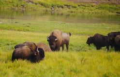 Buffle de bison américain en parc national de Yellowstone à l'herbe images stock