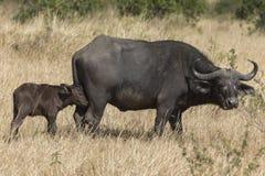 Buffle de cap avec le veau au masai Mara National Park photo libre de droits