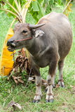 Buffle de Potrait avec la corde sur le champ vert de la Thaïlande Photos stock