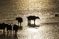 Buffle de silhouette sur le coucher du soleil Image stock