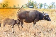 Buffle de veau suçant le lait maternel  Photo stock