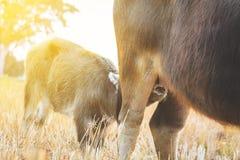 Buffle de veau suçant le lait maternel  Image libre de droits