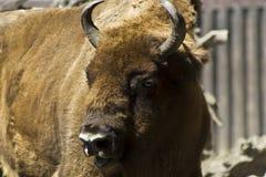 buffle de zoo Images libres de droits