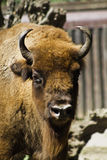 buffle de zoo Photographie stock