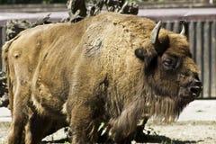 buffle de zoo Photographie stock libre de droits