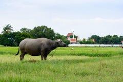 Buffle thaï Photos libres de droits