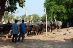 Buffle thaïlandais Photo stock