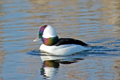 bufflehead Obrazy Stock