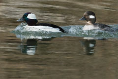 bufflehead Obrazy Royalty Free