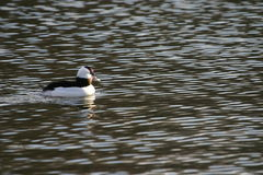 Bufflehead fotos de stock royalty free