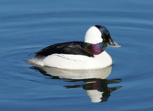 Bufflehead - Bucephala albeola Royalty Free Stock Photo