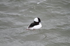 Bufflehead Royalty Free Stock Images