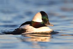 Bufflehead (Bucephala albeola) Stock Photography