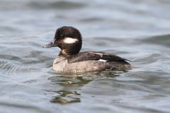 Bufflehead (Bucephala albeola) Royalty Free Stock Photography