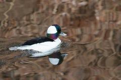 Bufflehead Drake Swimming in a Pond Stock Photo