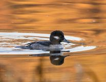 Bufflehead Duck Royalty Free Stock Photo