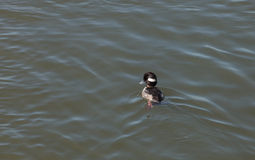 Bufflehead duck, Bucephala albeola Stock Photo