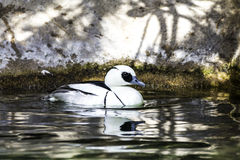 BuffleHead duck. Royalty Free Stock Images
