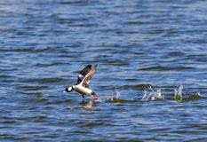 A Bufflehead duck doing a running take off from a lake Royalty Free Stock Photo