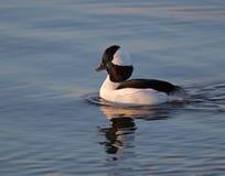 Bufflehead duck drake Stock Image