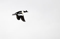 Bufflehead Duck Flying Against a White Background Stock Image