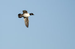 Bufflehead Duck Flying in a Blue Sky Royalty Free Stock Photography