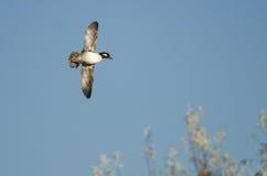 Bufflehead Duck Flying in a Blue Sky Stock Photos