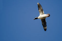 Bufflehead Duck Flying in a Blue Sky Royalty Free Stock Photos