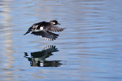Bufflehead Duck Flying Low Over the Still Pond Waters Stock Images