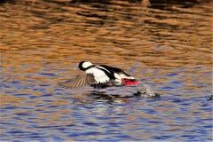 Bufflehead Duck in full flight stock images