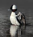 Bufflehead Duck Raising fora da água Fotos de Stock Royalty Free