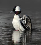 Bufflehead Duck Raising out of the Water Royalty Free Stock Photos