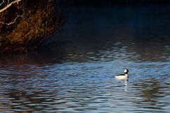 Bufflehead Duck Swimming in the Autumn Pond Royalty Free Stock Photos