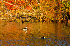 Bufflehead Duck Swimming in the Blaze of Autumn Color Stock Images