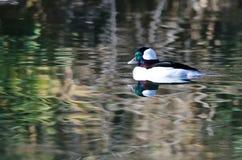 Bufflehead Duck Swimming nelle acque dello stagno tranquillo Fotografie Stock Libere da Diritti