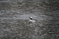 A Bufflehead duck royalty free stock photo