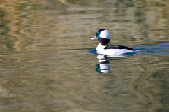 Bufflehead Duck Swimming in the Still Pond Waters Royalty Free Stock Photography