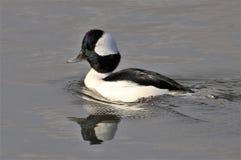 Bufflehead Duck Swimming sul fiume fotografia stock libera da diritti
