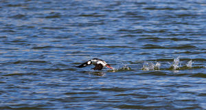 Bufflehead duck taking off from the lake Stock Images