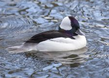 Bufflehead Duck in Water Royalty Free Stock Images
